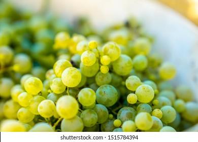 Golden grape of glera variety used to make Prosecco Italian sparkling wine during harvest period, hand harvest in the area of Valdobbiadene, unesco heritage site.