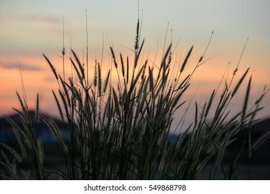 Golden grass Fields of golden grass in the countryside.