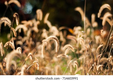 The golden, grass seed heads are illuminated by the sunlight of a fall afternoon.