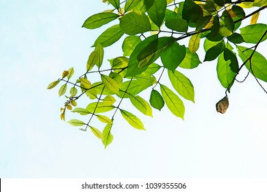 Golden green leaves and branches on white background for abstract texture environment nature love earth concept for design and decoration