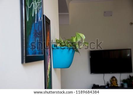 Golden Green Pathos Money Plant Blue Stock Photo Edit Now