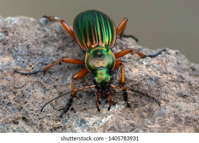 Golden Ground Beetle - Carabus auratus