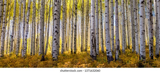 Golden grove of aspen trees taken during peak fall colors in the Rocky Mountains of Colorado fills out this wide panoramic shot