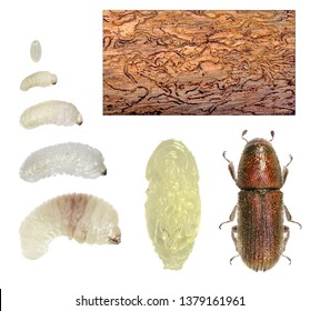 Golden haired bark beetle Hylurgus micklitzi (Coleoptera: Curculionidae). Development stages and bark gallery. Isolated on a white background