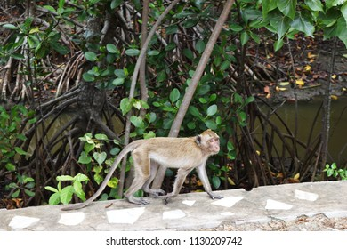 Golden hairy monkey walking at the mangrove forest , Long-tailed macaque,  Crab-eating macaque at Khao Sam Roi Yot National Park , Thailand