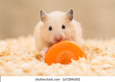Golden Hamster eating a carrot on wooden chips