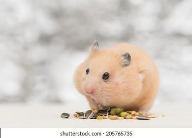 Golden Hamster eating pet food on twinkle background.
