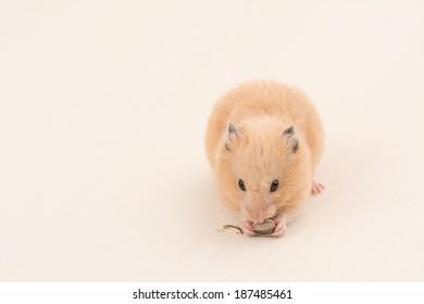 Golden Hamster eating sunflower seed on wooden board