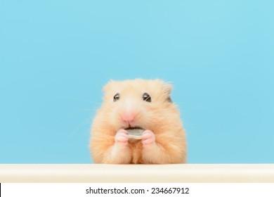 Golden Hamster eating sunflower seed.