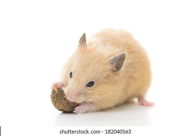 Golden Hamster eating walnut, isolated on white background.