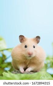 Golden Hamster an green leaves.