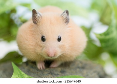 Golden Hamster and green leaves.
