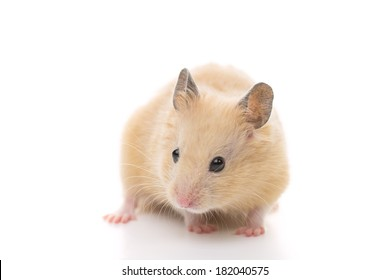 Golden Hamster, isolated on white background.