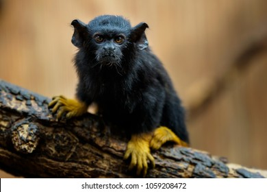 Golden handed Tamarin. Tamarin Saguinus midas sitting on branch. Wild life animal.