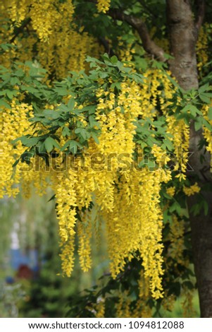 Golden Hanging Labernum Flowers May Flowers Stock Photo Edit Now