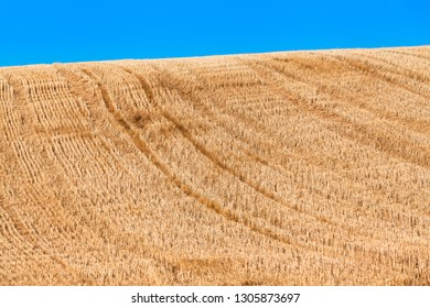 Golden harvested hilly field of grain, short cut stubbles, vehicle tracks uphill, blue sky background (copy space)