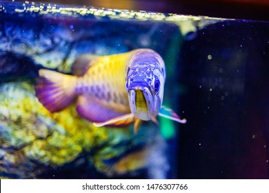 Golden Head Arowana Fish view in close up in an aquarium
