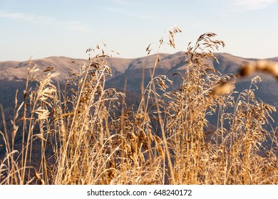Golden high grass on top of the mountain. Other mountain peak in the background.