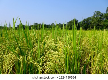 Golden high yielding rice grains ready to harvest with green plants blue sky at an Indian paddy field, copy space for text paste