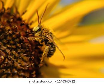 golden honeybee on sunflower