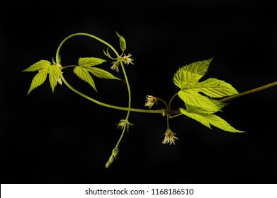 Golden hop vine, leaves and flowers isolated against black