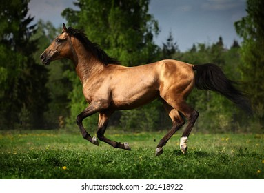 golden horse akhalteke portrait in motion in summer