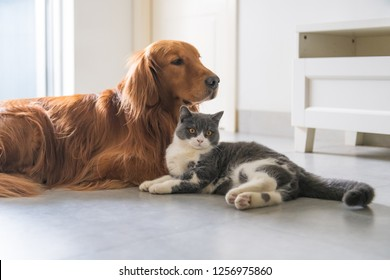 Golden Hound and British short-haired cat