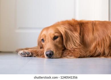 The Golden Hound lies on the ground.