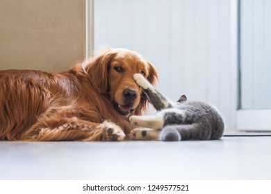 The Golden Hound plays with the kitten.