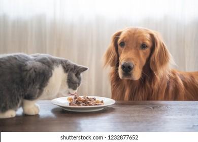 The Golden Hound watches the kitten eat.