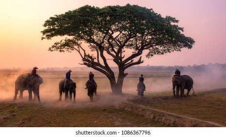 Golden hour amazing safari Thailand  the mahouts and elephants meeting under tree   morning time on the field of Chang Village Thailand.