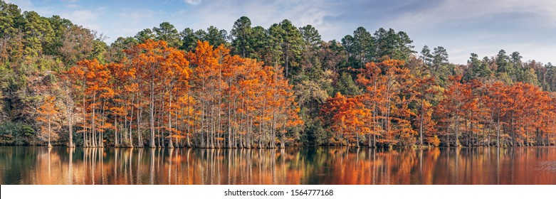 Golden Hour Panorama of Changing Bald Cypresses at Beaver's Bend State Park - Broken Bow Oklahoma