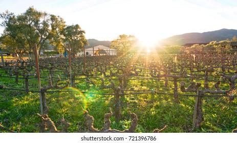 Golden hour sunset over vineyard in Napa Valley.