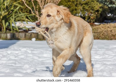 Golden hovawart puppy running on the snow