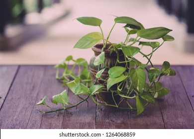 Golden Hunter's Rolae or Devil's ivy plant in vase decorated on wooden table