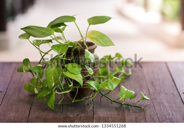Golden Hunter's Rolae or Devil's ivy plant in vase decorated on wooden table.