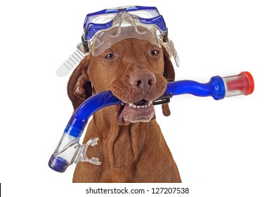 golden hunting  dog with snorkel on white background