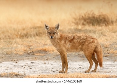 Golden jackal (Canis aureus) looks at me as I photograph him in an African park.