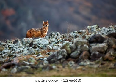 Golden jackal, Canis aureus, in mountains. Wildlife scene from Bulgaria. Wild animal.