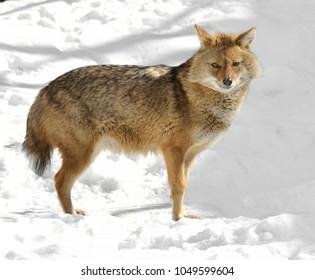 Golden jackal (Canis aureus) in winter