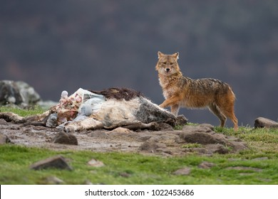 Golden jackal, Canis aureus,eating cow carcass. Scene with wild dog tearing dead body. Interesting scene with a beast in its natural environment. A savage scene with wild mammal in bulgarian mountain.
