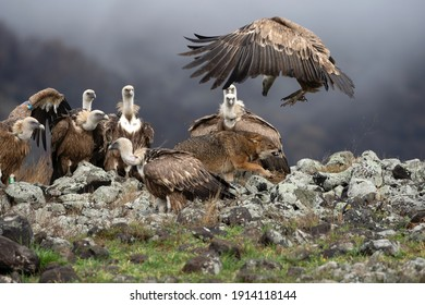 Golden jackal fighting between vultures. Jackal and griffon vultures in the Bulgarian Rhodope mountains. Carnivore during winter. European nature.