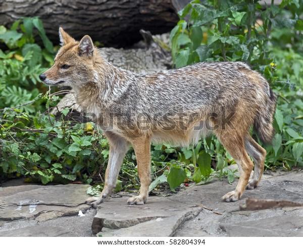 Golden jackal. Latin name - Canis aureus