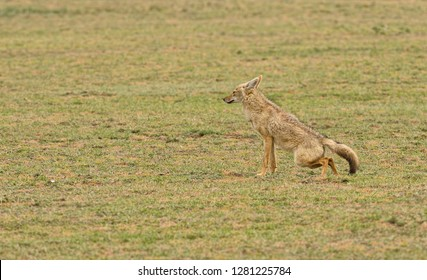 "Golden Jackal (scientific name: canis aureus, or ""Bweha wa mbugua"" in Swaheli) in the Serengeti, Tanzania"