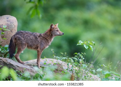 A Golden jackal  Stand alone on the rock in Kaeng Krachan National Park,Phetchaburi Province, Thailand
