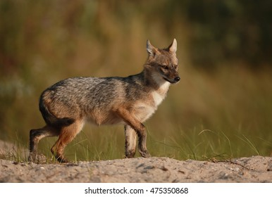 Golden jackal in the warm light of the early morning