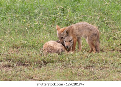Golden Jackal or Golden Wolf in Tanzania with young