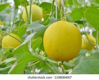 Golden Janchai melon breed growing on its trunk and branch with green leaves at full maturity with sweet taste and aromatic fragance come out of yellow skin planting in nursery housing