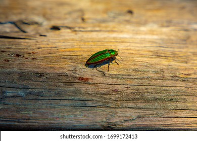 Golden Jewel Beetle (Buprestis aurulenta) also Known as Golden Buprestid, species of Iridescent Green with Shining Orange Trim Around the Wing Covers Walks on Wood Log