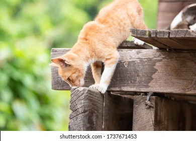 Golden kitten or cat Looking for victim On a wooden house